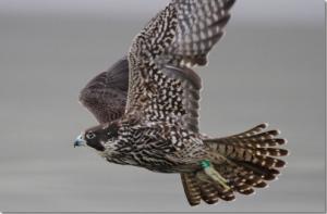 A juvenile female Peregrine Falcon takes flight.  Photo credit: Tom Rowley