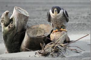 coastal raptors research