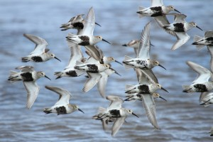 Grays Harbor Shorebird and Nature Festival @ Various | Hoquiam | Washington | United States
