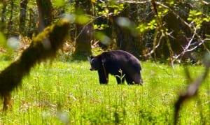 Bear Festival @ McCleary | McCleary | Washington | United States