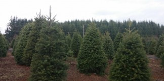 christmas trees grays harbor