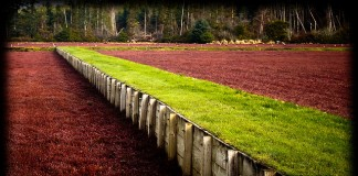 Grays Harbor cranberry bog.