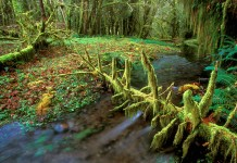 Quinault Rainforest at Olympic National Park.