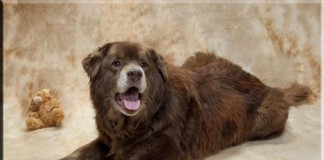 Bear is a lab/chow cross looking for a new home.