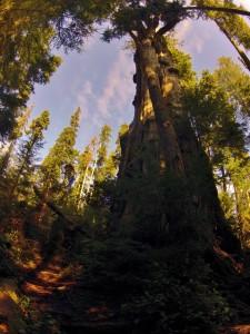 Quinault Cedar. Image by Doug Scott