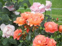 polson rose garden