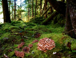 mushroom hunting grays harbor