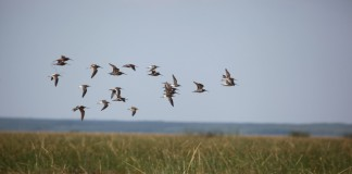 grays harbor shorebird festival