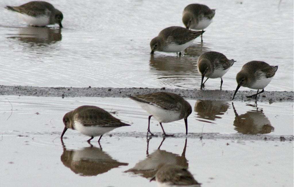 shorebird festival