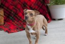 Adopt-A-Pet dog of the week Bogie