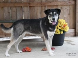 Adopt A Pet Dog of the Week Addy