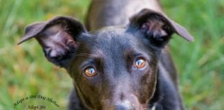 Adopt a Dog Dog of the Week Roxie