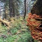 Grays Harbor Mushroom