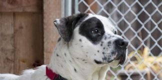 Adopt a Pet Dog of the Week Bruno