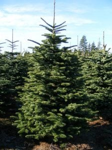 Grays Harbor Tree Farms KCs Danish