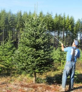 Grays Harbor Tree Farms Matisons