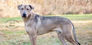 Adopt A Pet Dog of the Week Rocco