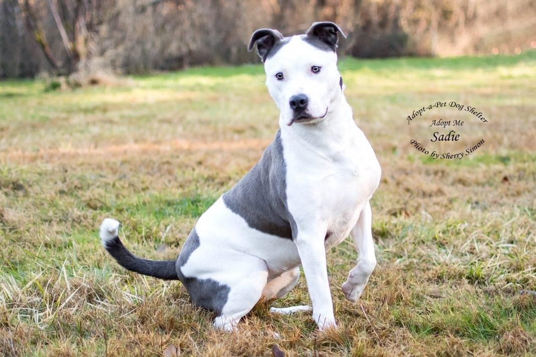 Adopt-A-Pet Dog of the Week Sadie