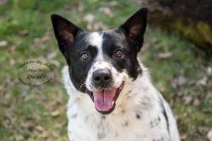 Adopt A Pet Dog of the Week Diesel