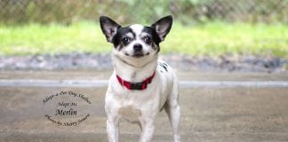 Adopt A Pet Dog of the Week Merlin