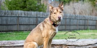 Adopt A Pet Dog of the Week Kammie