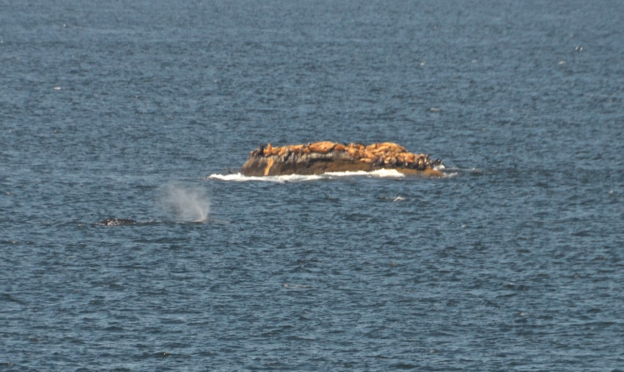 The Whale Trail Cape Flattery Whale via Douglas Scott