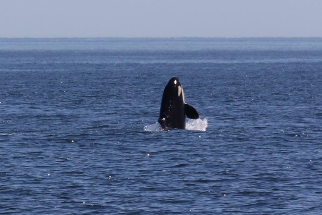 The Whale Trail Orca via Douglas Scott