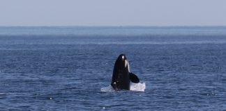 The Whale Trail Orca via Douglas Scott