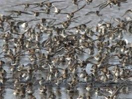Grays Harbor County Shorebirds Flock-of-Shorebirds-Image-courtesy-of-Doug-Scott