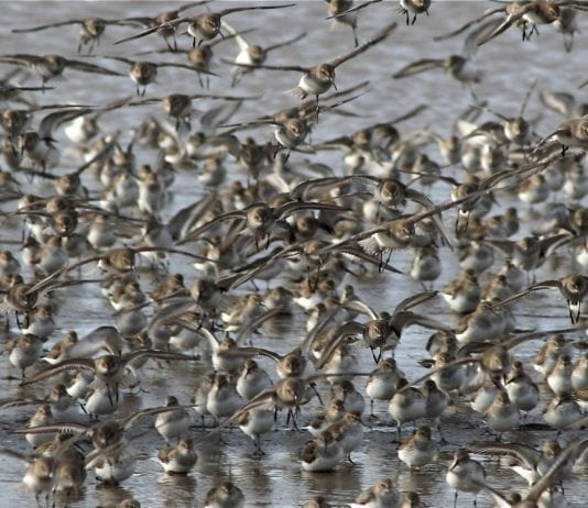 Grays Harbor County Shorebirds Flock-of-Shorebirds-Image-courtesy-of-Doug-Scott