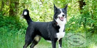 Adopt A Pet Dog of the Week Missy