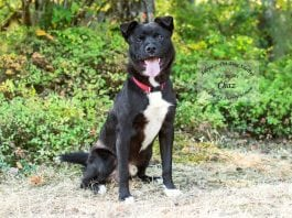 Adopt a Pet Dog of the Week Chas