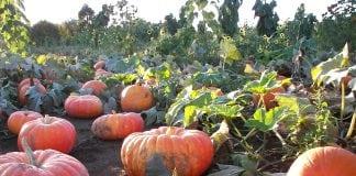 Rutledge Corn Maze Fall activities pumpkin patch Experience Olympia