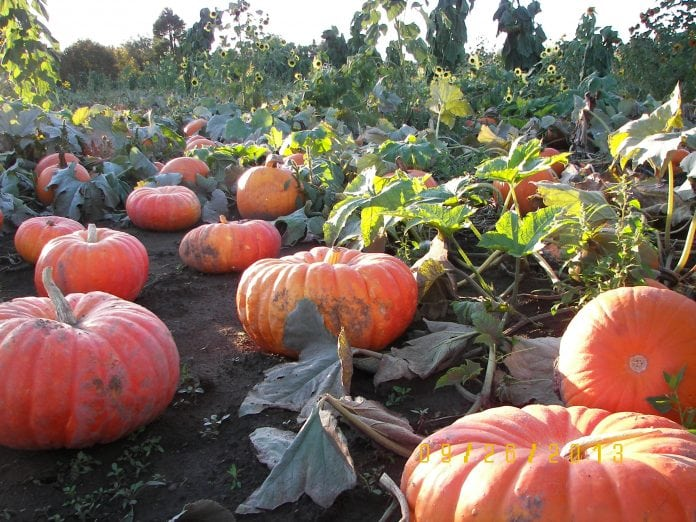 Rutledge Corn Maze Fall activities pumpkin patch Experience Olympia