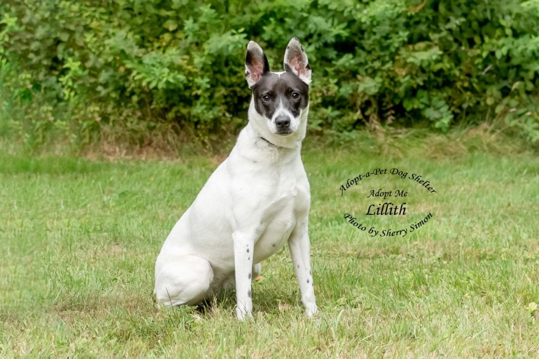 Adopt A Pet Dog of the Week Lillith