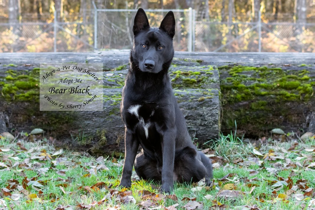 Adopt A Pet Dog of the Week Bear Black