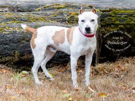 Adopt A Pet Dog of the Week Poindexter