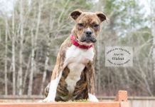 Adopt A Pet Dog of the Week Walnut