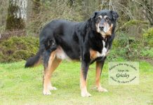 Adopt A pet Dog of the Week Grizley