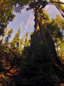 Fallen Quinault Cedar