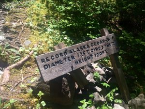 Sign for Record Alaska Cedar in Quinault