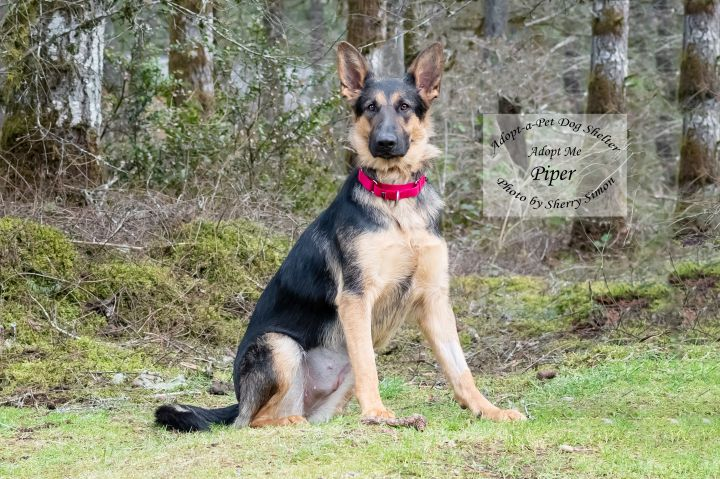Adopt A Pet Dog of the week Piper