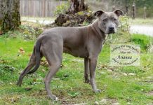 Arianna is a sweet and shy Pit Bull looking for a forever home where she can be the only dog. She is available for adoption at Adopt-A-Pet Shelton.