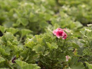 garden starts nursery pink flower