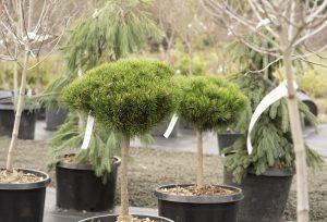 garden starts nursery tree