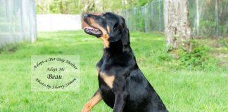 Adopt A Pet Dog of the Week Beau