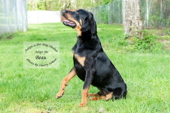 Adopt A Pet Dog of the Week Beau