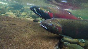 Twin Bridges Park Montesano Coho Salmon