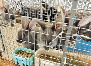 Southwest-Washington-Fair-Rabbits-at-the-Southwest-Washington-Fair-1024x738
