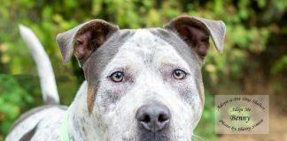 Adopt a Pet Dog of the Week Benny
